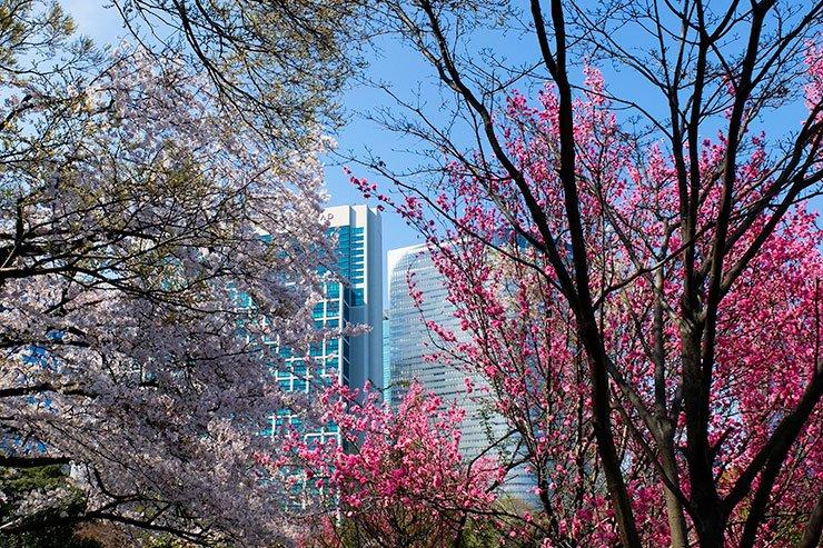 Sakura-Hamarikyu-Tokyo
