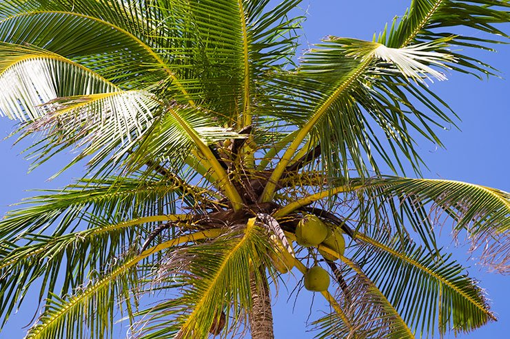 KingCoconut-Sri-Lanka