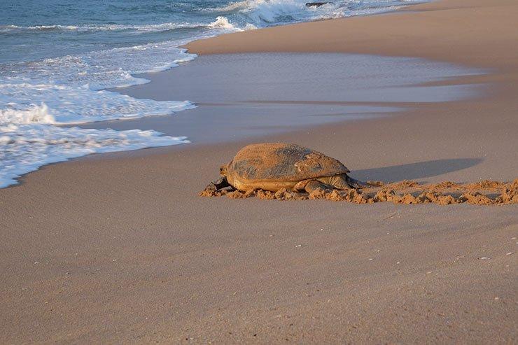 Turtle, Rekawa, Sri Lanka