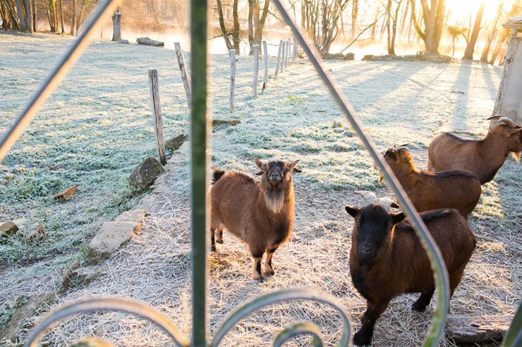 Champagne-Marie-Courtin-goats
