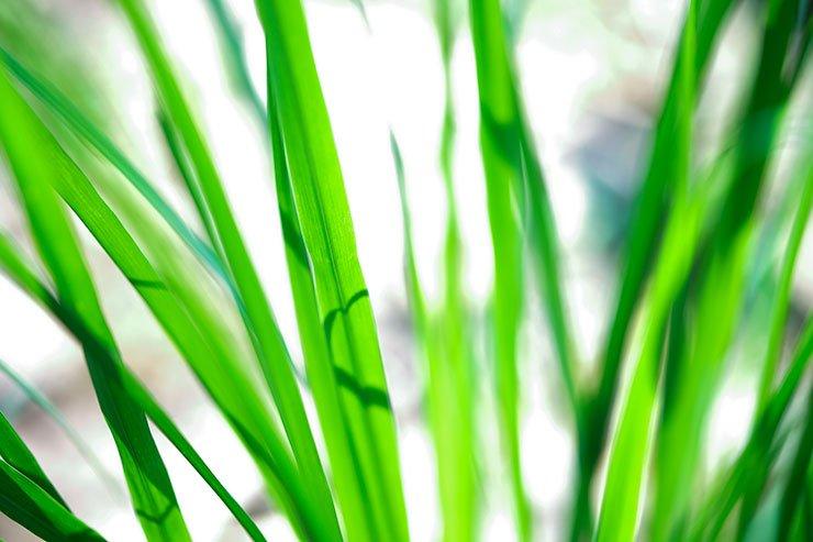 Lemongrass-Handunugoda-Galle