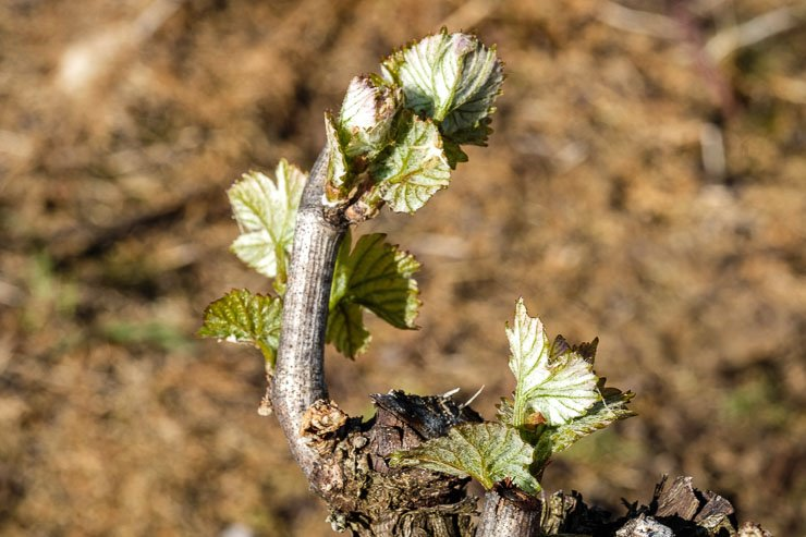 Spring shoots, vines, Burgundy