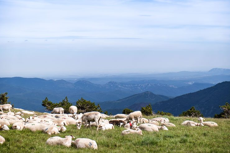 Sheep grazing, Mount Aigoual Cevennes France_