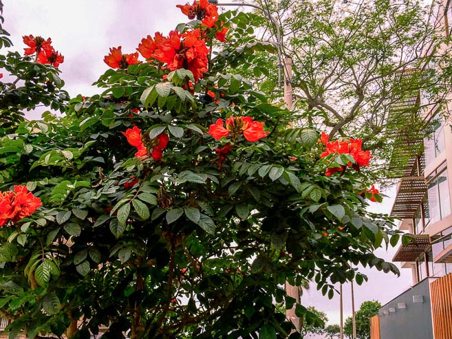 Tropical tree with red flowers, Miraflores, Lima