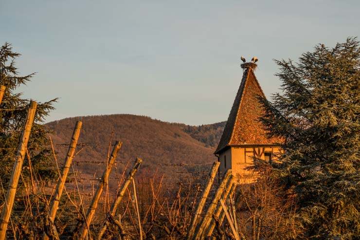 Storks on a roof top nest at Ammerschwihr, Alsace