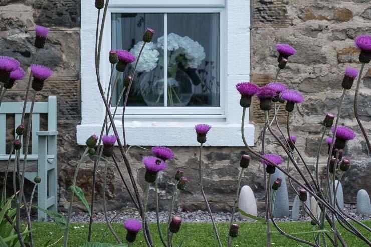 Thistles, Findhorn, Scotland