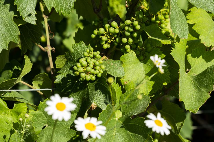 Daisies in vineyard with grapes in June