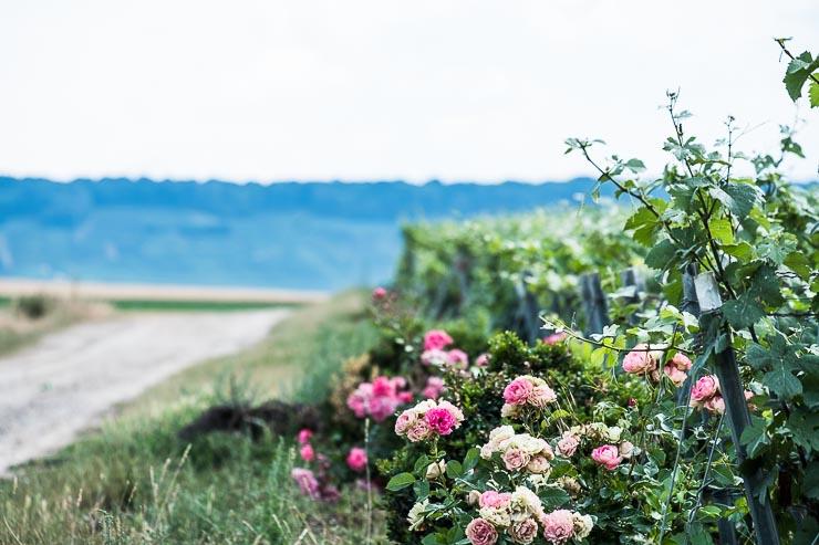 Pink roses in vineyard of Emmanuel Brochet