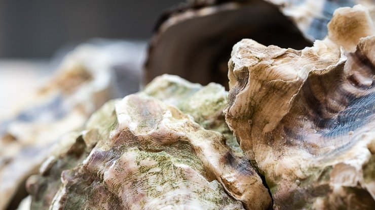 Pacific oysters, Cornerstone