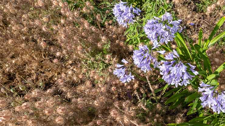Agapanthus and nigella seed heads at the garden of the Secret Garden at the Library of Birmingham