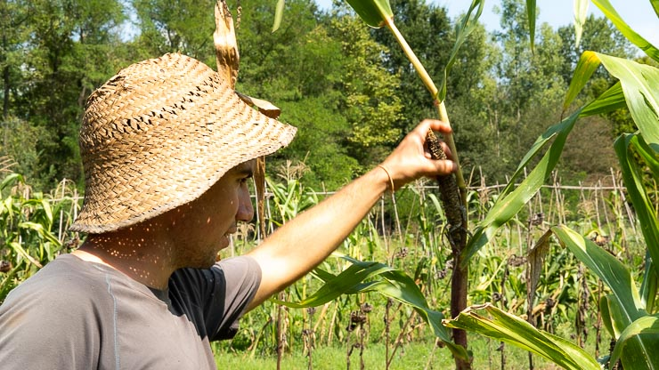 Man with straw hat inspecting maize.