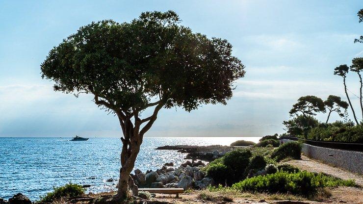 Single oak tree on Sentier Littoral de Cap d'Antibes overlooking the water with bench