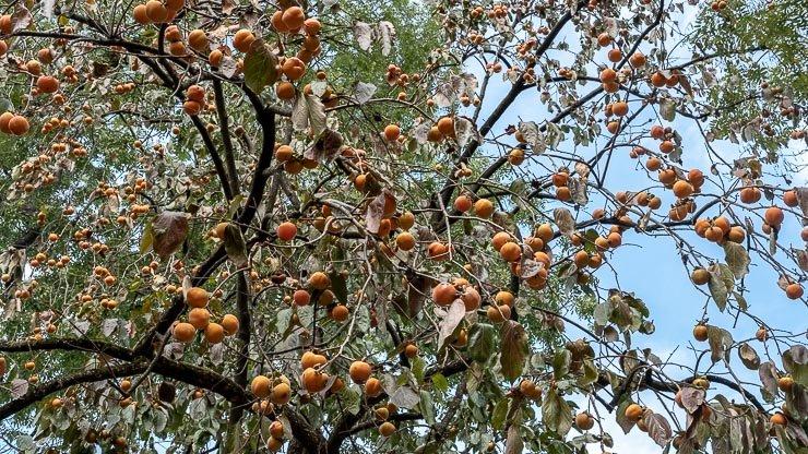 Fruit on loquat tree, Park Buttes-Chaumont, Paris